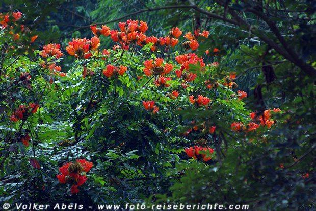 Baum mit roten Blüten - Thailand © Volker Abels