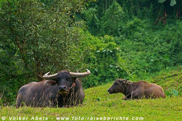 Wasserbüffel in Nordthailand © Volker Abels - foto-reiseberichte.com
