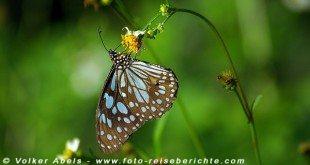 Schmetterling in Thailand, bei Chaing Mai - © Volker Abels www.foto-reiseberichte.com