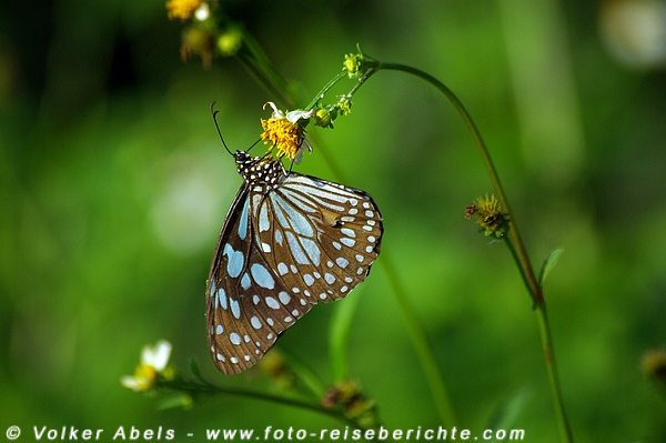 Photo of Foto der Woche – Schmetterling in Thailand