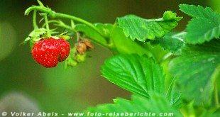 Erdbeere © Volker Abels