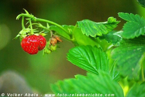 Photo of Foto der Woche – Eine Erdbeere