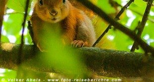 Eichhörnchen in einem Apfelbaum © Volker Abels