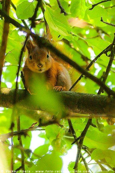 Photo of Foto der Woche – Eichhörnchen in einem Apfelbaum