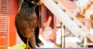 Frühstück klauender Vogel in Luang Prabang - Laos © Volker Abels