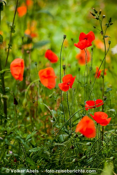 Klatschmohn am Wegesrand in der Eifel © Volker Abels - www.foto-reiseberichte.com
