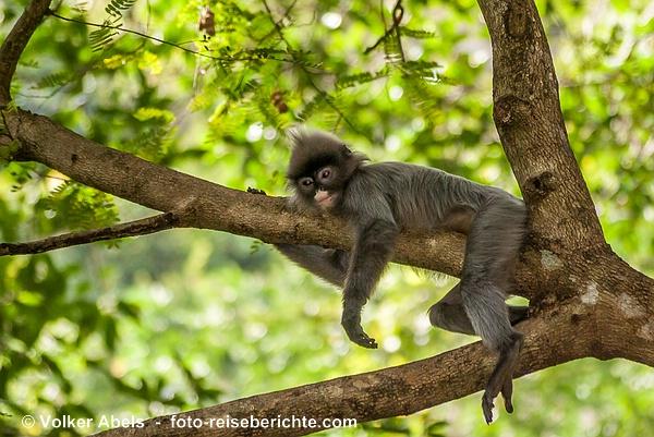 Phayre-Brillenlangur im Issan, Thailand © Volker Abels - www.foto-reiseberichte.com