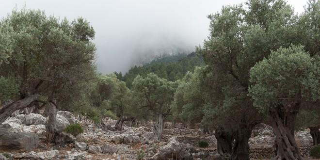 Olivenbäume nach einem Regen