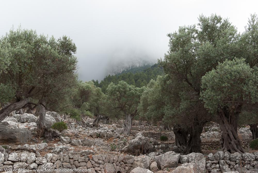 Photo of Olivenbäume nach einem Regen – Mallorca, Spanien