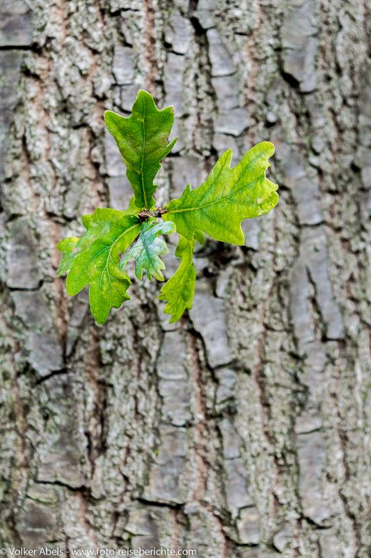 Photo of Eichenblätter sprießen aus einem Baumstamm