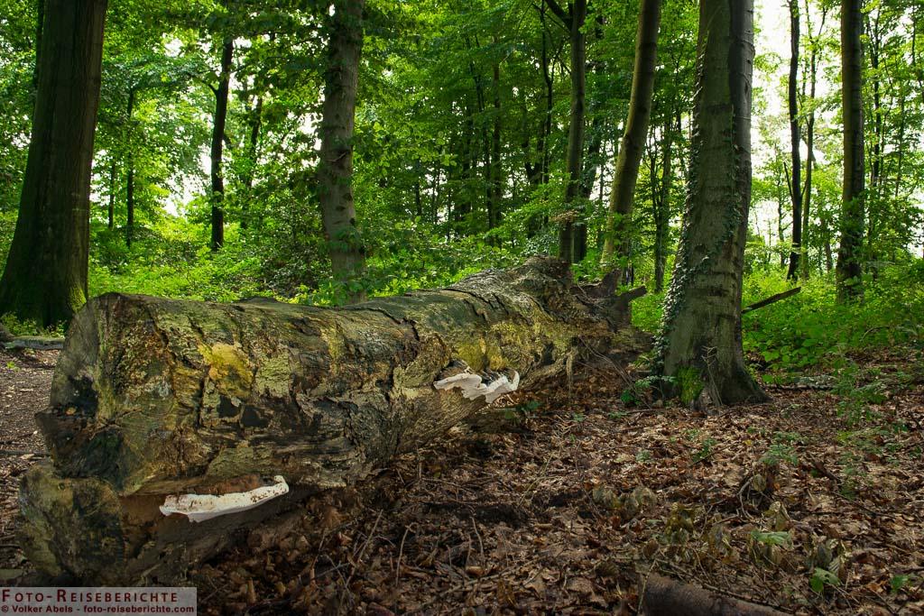 Zerfallender Baumstamm in einem Wäldchen