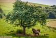 Pferde suchen unter einem Baum Schutz vor der Sonne