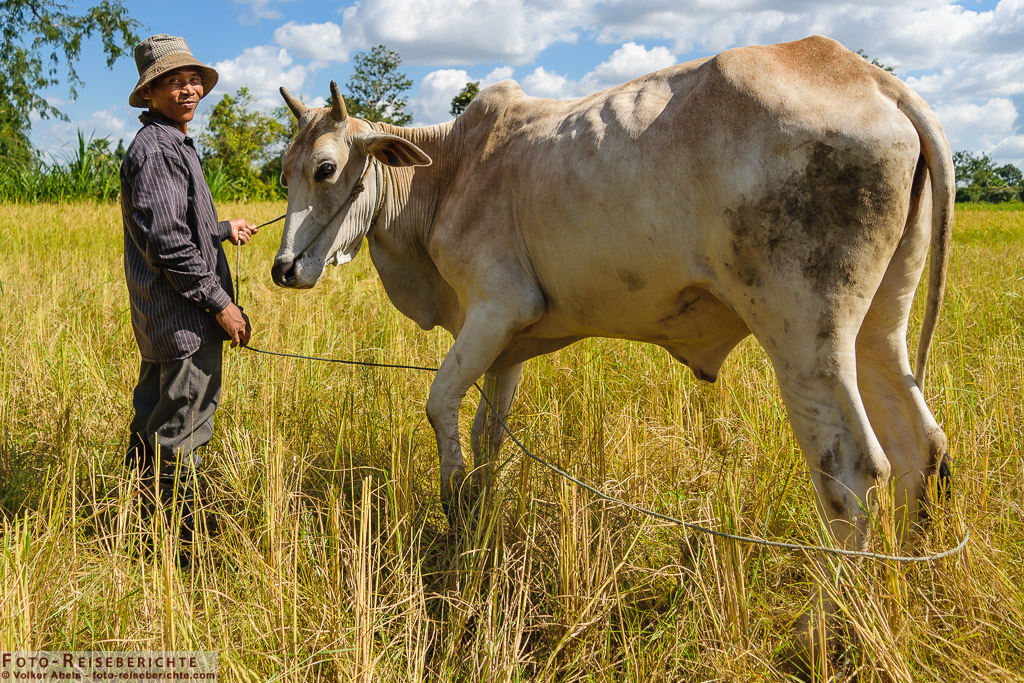 bauer mit kuh in kambodscha - foto-reiseberichte.com