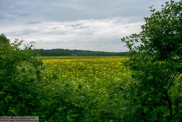 Gelb blühende Wiese - Bislicher Insel_01 - © Volker Abels www.foto-reiseberichte.com