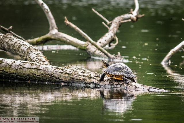 Gelbwangen Schildkröte ruht auf einem Baumstamm_01 - © Volker Abels www.foto-reiseberichte.com