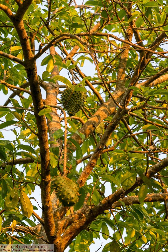 Kleine Durian Früchte an einem Baum in Thailand - © Volker Abels www.foto-reiseberichte.com_