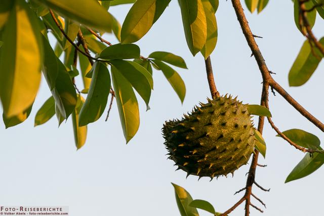 Kleine Durian Frucht an einem Baum in Thailand - © Volker Abels www.foto-reiseberichte.com_