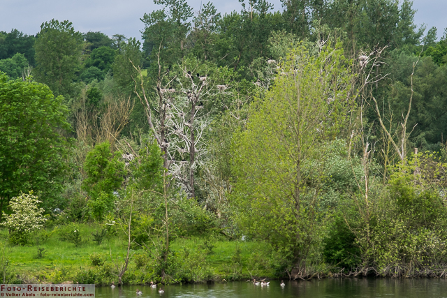 Nistbäume von Kormoranen im Naturschutzgebiet Bislicher Insel_01 - © Volker Abels www.foto-reiseberichte.com