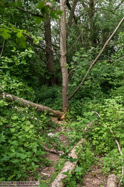 Spuren eines Bibers im Naturschutzgebiet Bislicher Insel_01 - © Volker Abels www.foto-reiseberichte.com