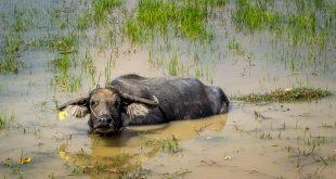 Wasserbüffel in einem Reisfeld © Volker Abels - foto-reiseberichte.com