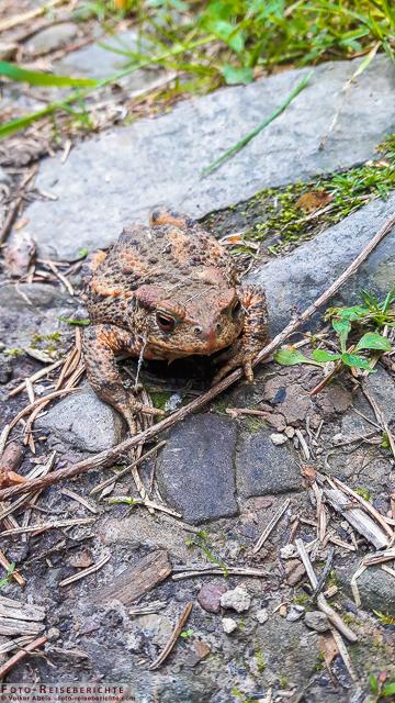 Erdkröte © Volker Abels - www.foto-reiseberichte.com