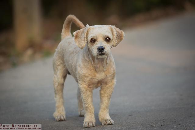 Kleiner Hund in einem Dorf etwas außerhalb von Chiang Mai in Thailand © Volker Abels - www.foto-reiseberichte.com