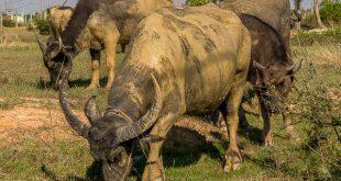 Grasende Wasserbüffel in Kambodscha © Volker Abels - www.foto-reiseberichte.com