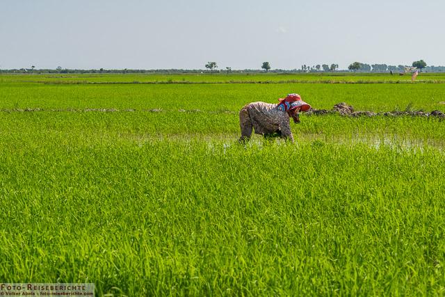 Arbeiten in einem Reisfeld © Volker Abels - www.foto-reiseberichte.com