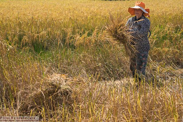Ein Frau trägt ein Bündel Reis © Volker Abels - www.foto-reiseberichte.com.jpg