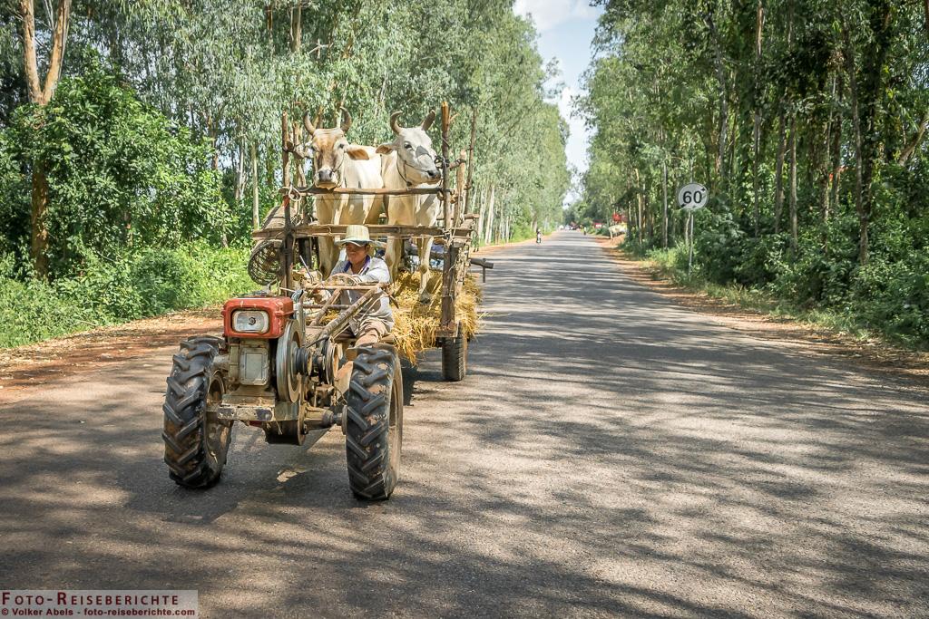 Rinder werden mit einem Zweirad-Traktor transportiert © Volker Abels - www.foto-reiseberichte.com