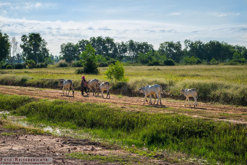 Rinder werden in der Nähe von Siem Reap in Kambodscha zu ihren Weideplätzen geführt © Volker-Abels - www.foto-reiseberichte.com