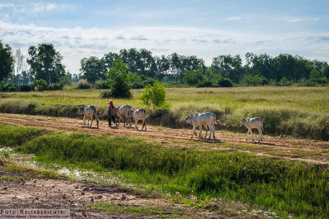 Rinder werden zu ihren Weideplätzen geführt © Volker Abels - www.foto-reiseberichte.com