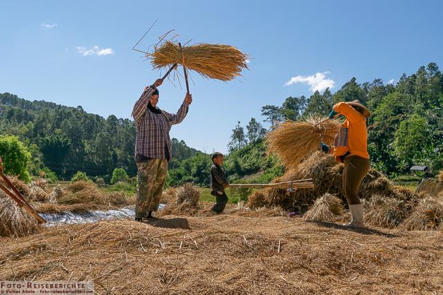 2 Frauen beim Reis dreschen-www.foto-reiseberichte.com