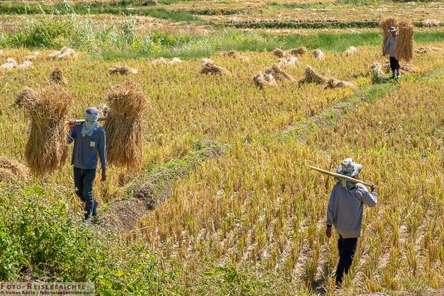 Beim Transport der Reisbündel - www.foto-reiseberichte.com-01