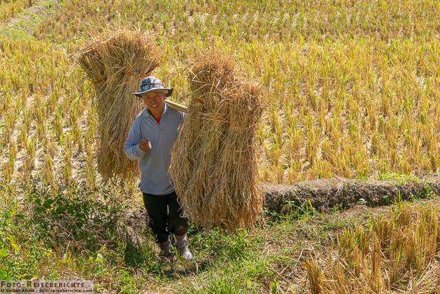 Ein Bauer trägt die Reisbündel zum Dreschplatz - www.foto-reiseberichte.com