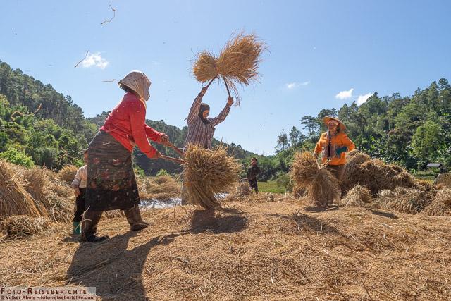 Frauen beim Reis dreschen - www.foto-reiseberichte.com