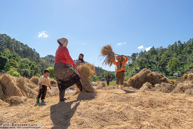 Frauen dreschen den Reis - www.foto-reiseberichte.com