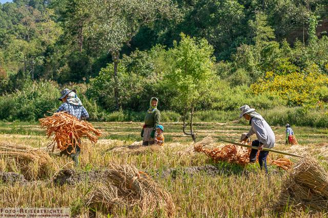 Reisbauern bündeln Reis - www.foto-reiseberichte.com