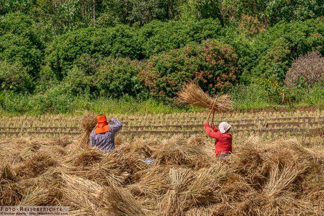 Reisbauern bei der Ernte-foto-reiseberichte.com