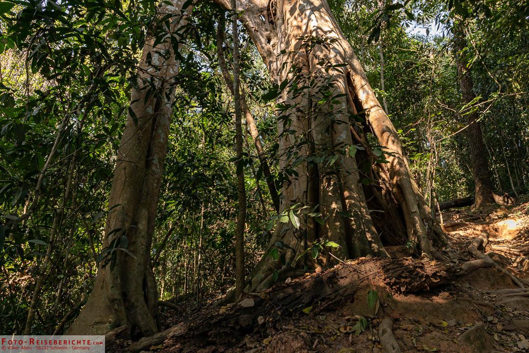 Große Bäumestehen am Wegesrand des Monks Trail